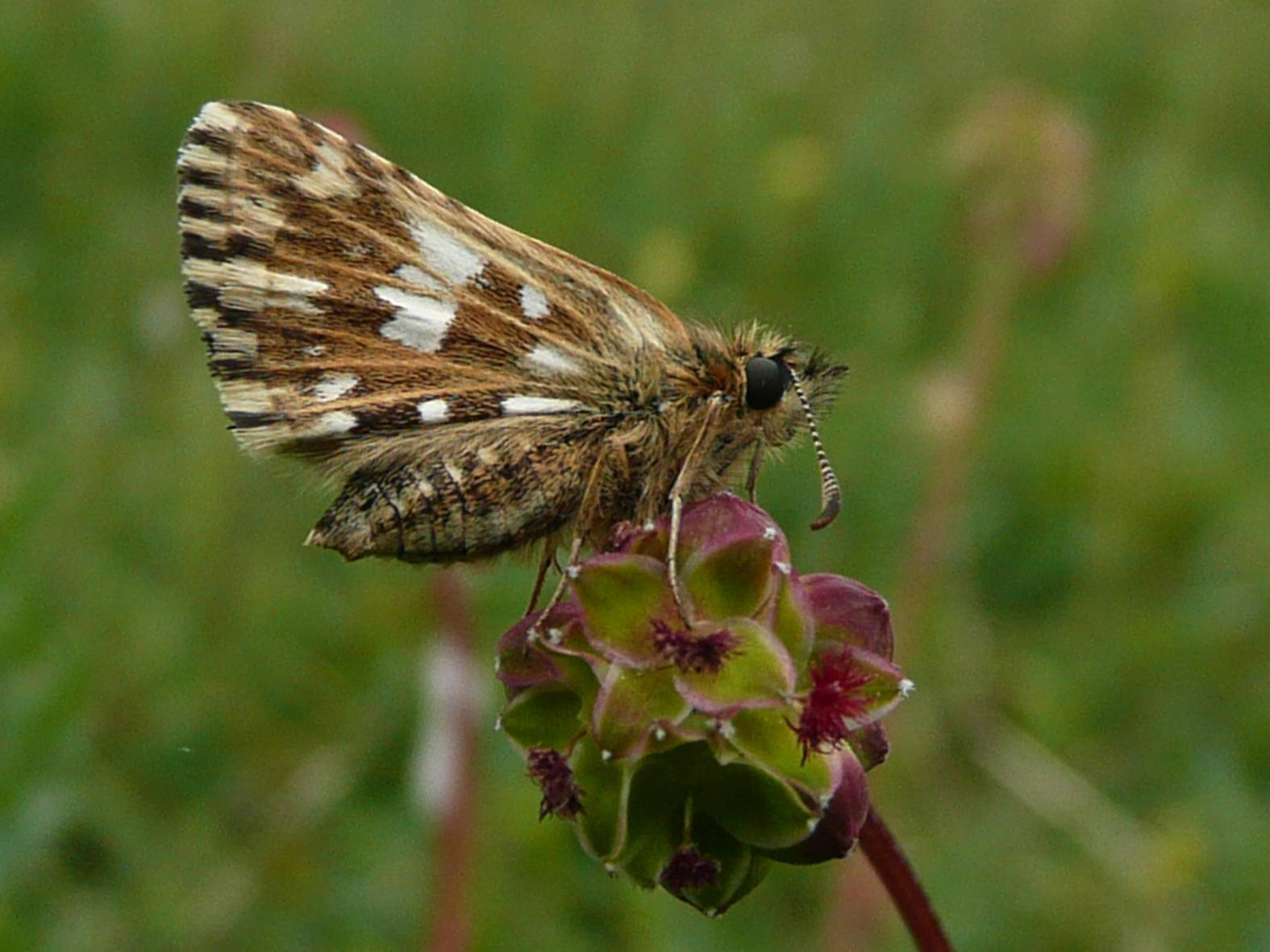 Grizzled skipper © Andrew Kerr