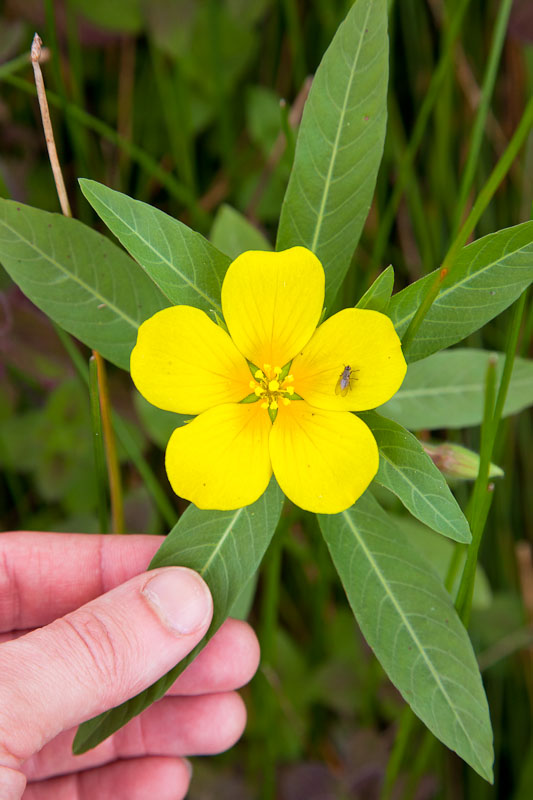 Creeping Water Primrose can take over ponds and lakes completely.