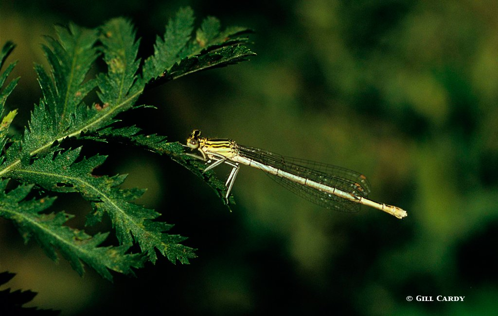 White-legged damsel fly © Gill Cardy