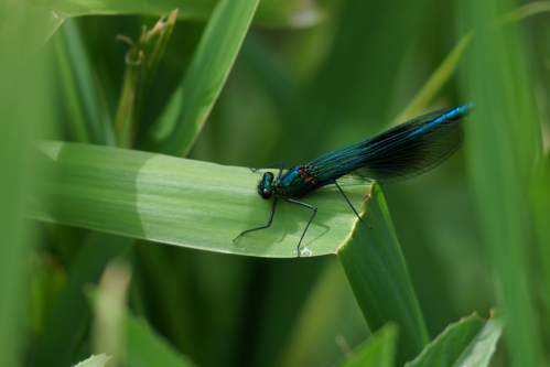 Photograph of a banded demoiselle damselfly