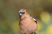 Chaffinch © Graham Coules