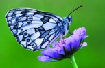 Marbled white on field scabious © Steve Day