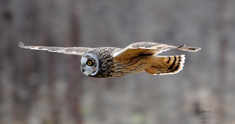 Short-eared owl 002 © Amy Lewis