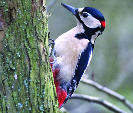 Great Spotted Woodpecker © Darin Smith