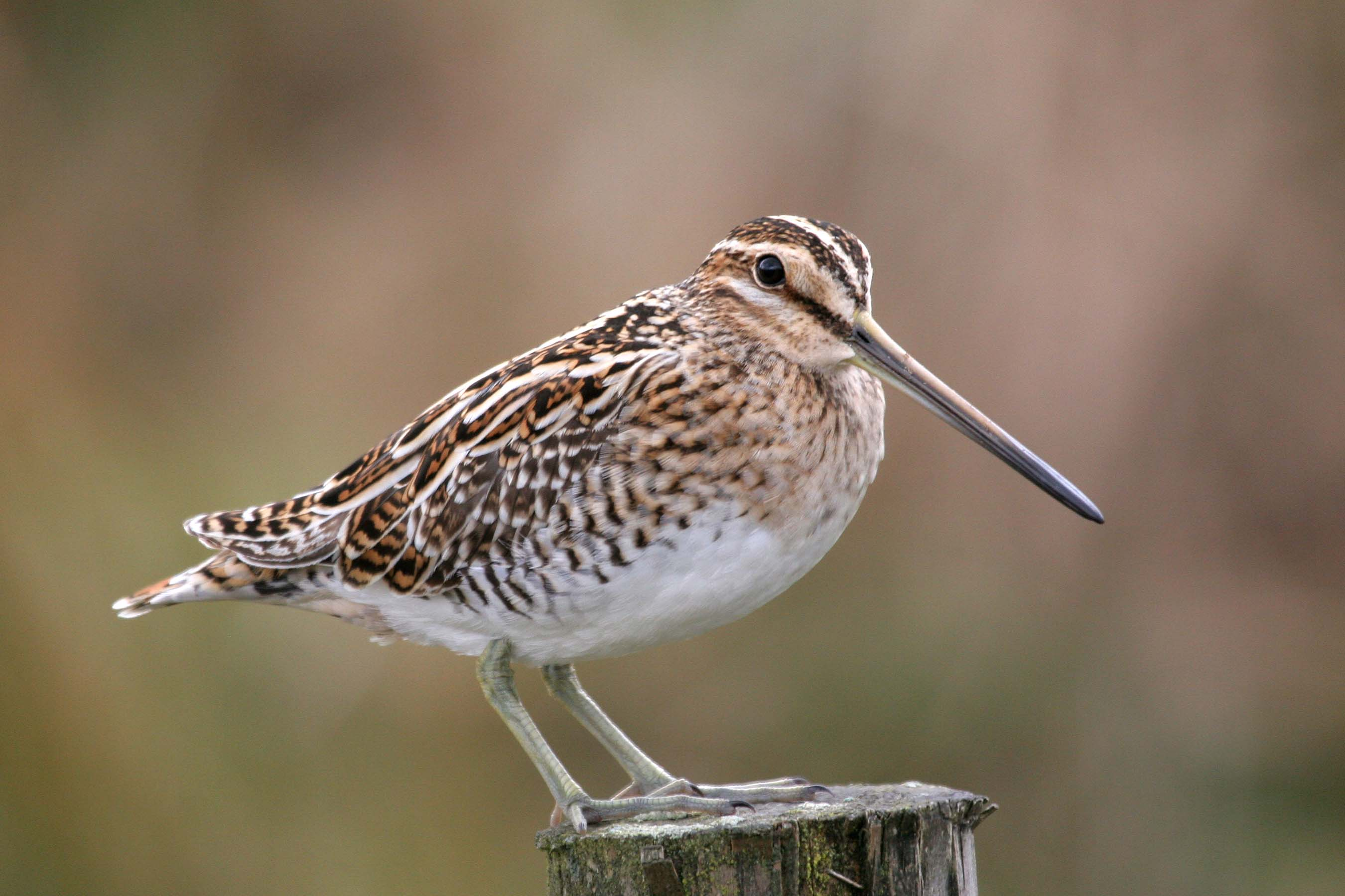 Snipe © Margaret Holland