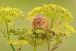 Harvest mouse © Amy Lewis