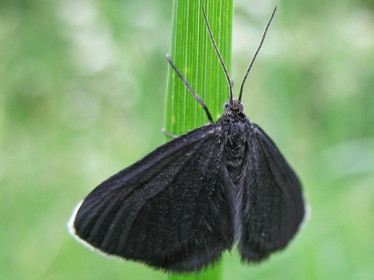 Chimney sweeper moth © Rachel Scopes