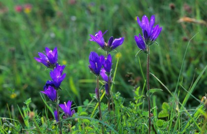 Clustered bellflower © Steve Day