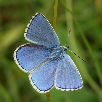 Adonis Blue Butterfly © Gary Mantle