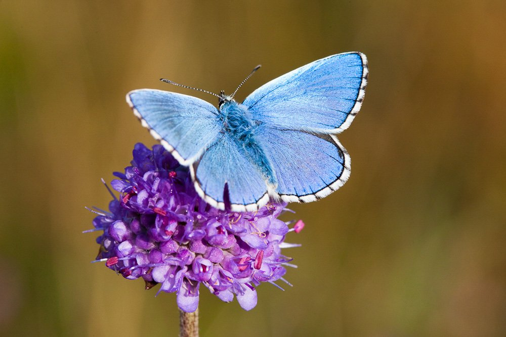 Adonis blue © David Kilbey