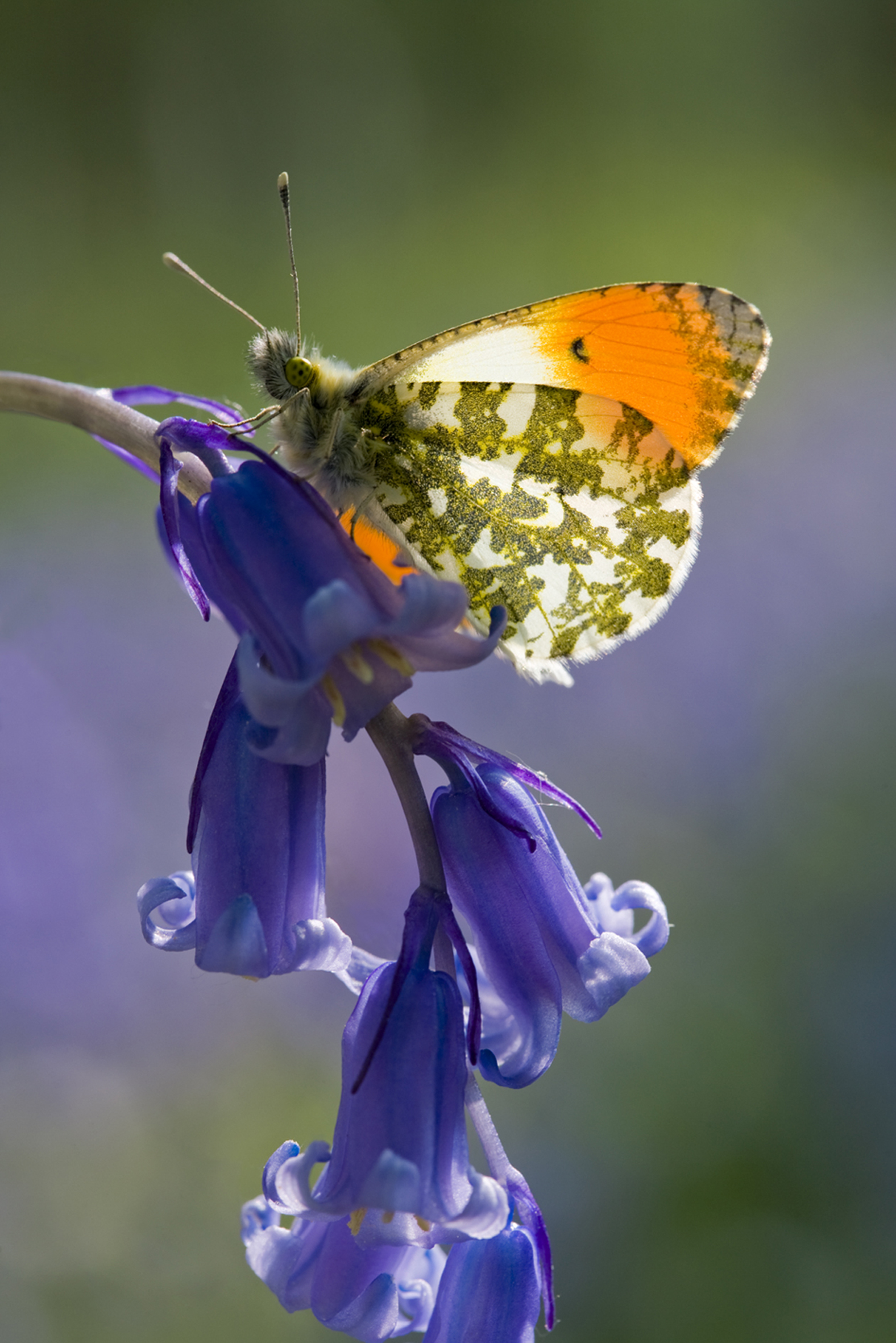 Orange tip © Stephen Davis