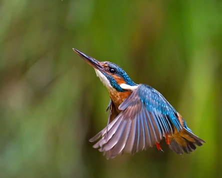 Kingfisher in flight © Malcolm Brown