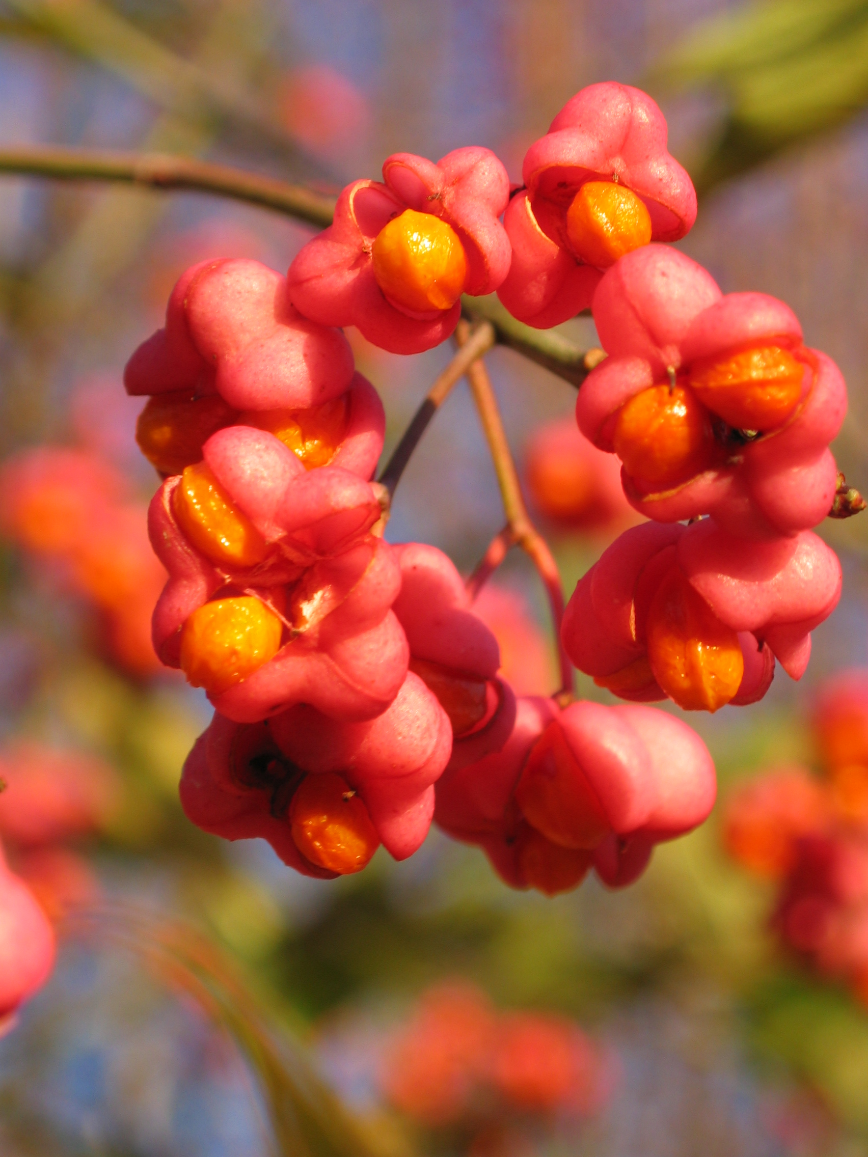 Euonymus europaeus Spindle © Rob Large