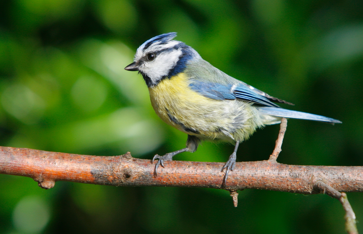 Blue tit © Graham Coules