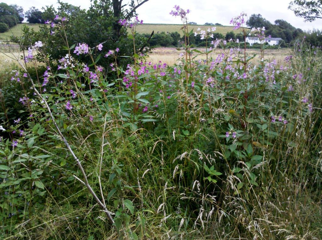 A stand of Himalayan Balsam on the banks of the River Nadder.