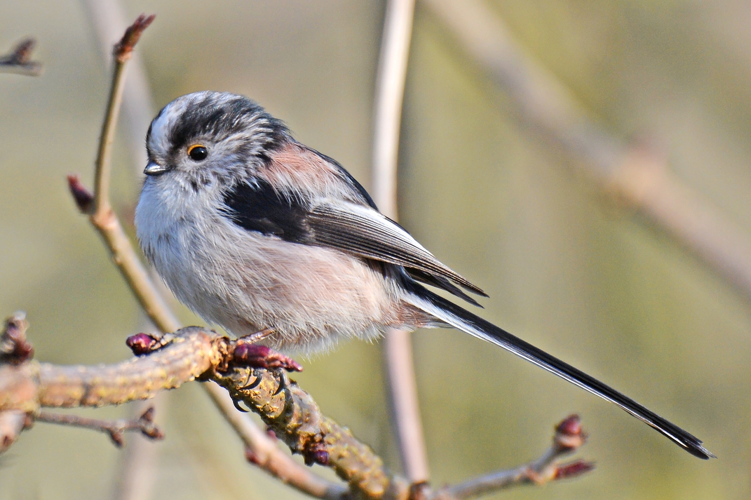 Long-tailed tit © Pete Blanchard
