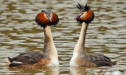 Great crested grebe © Steve Waterhouse