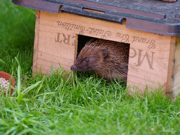 Hedgehog in Feeding box © Gillian Day