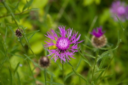 Knapweed © David Kilbey