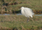 Little Egret © Tina Townend