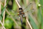 Four- spotted chaser dragonfly © Amy Lewis