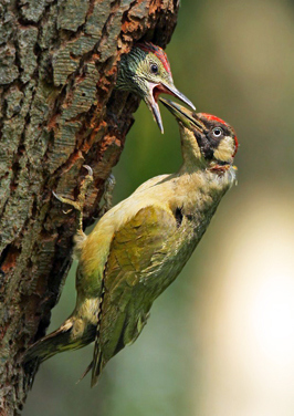 Green woodpecker © Jon Hawkins
