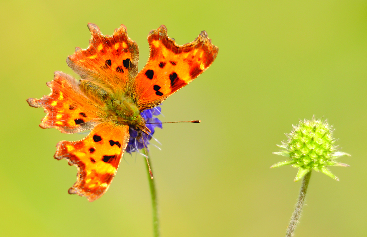 Comma butterfly © Amy Lewis