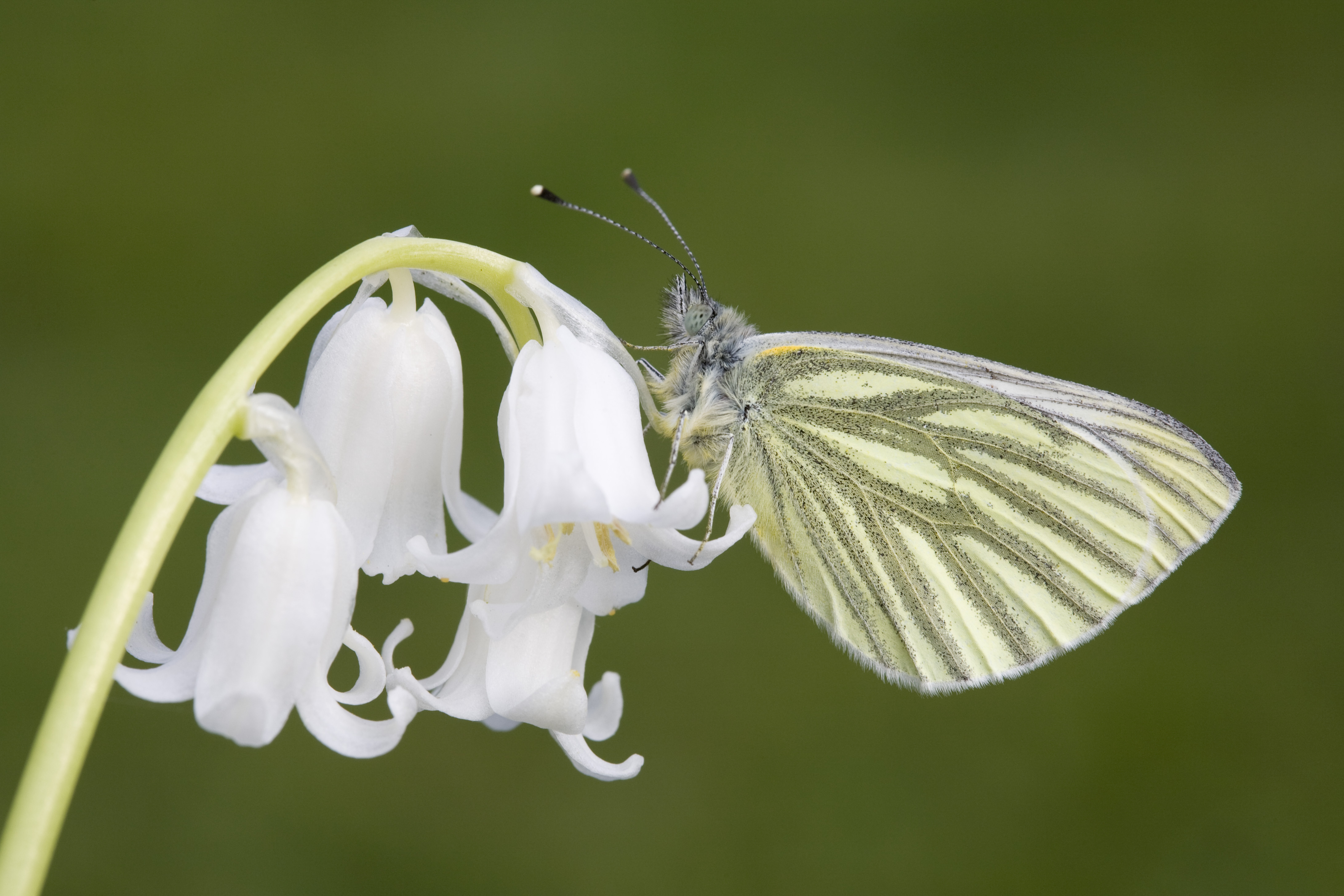 Green veined white © Stephen Davis
