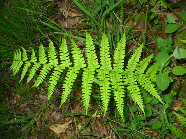 Lady fern © Rob Large