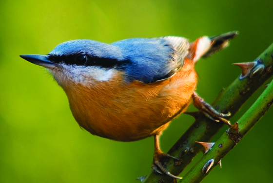 Nuthatch © Neil Aldridge