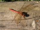Common darter © Steve Covey