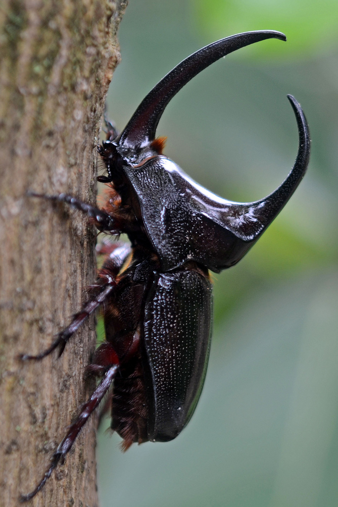 Rhinoceros beetle © G Gallice