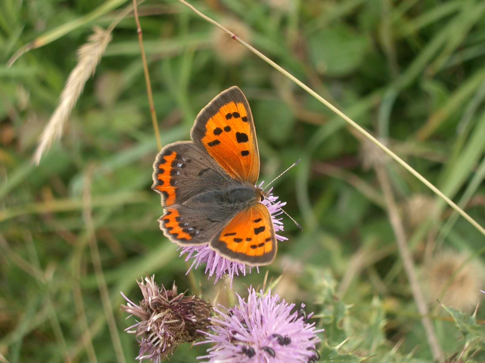 Small copper © Andrew Kerr