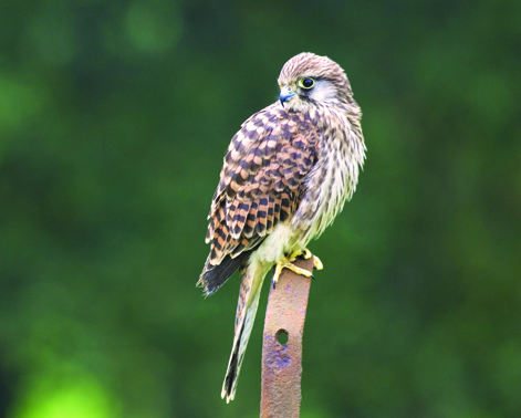 Kestrel © Darin Smith