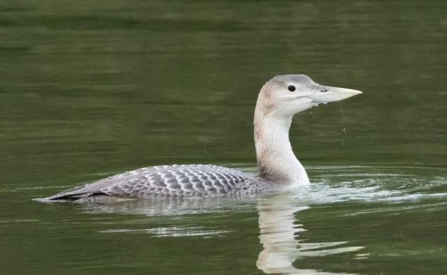 The White-Billed Diver © Steff Leese