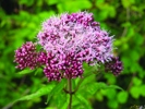Hemp Agrimony © Rob Large