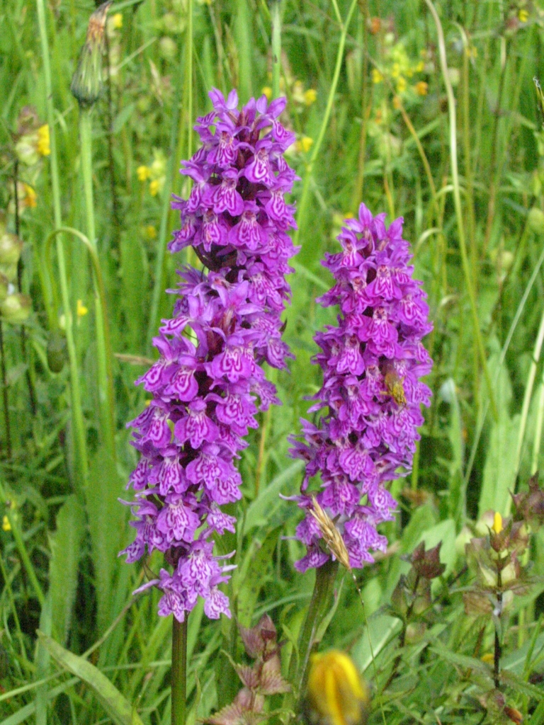 Southern marsh orchid © Rob Large