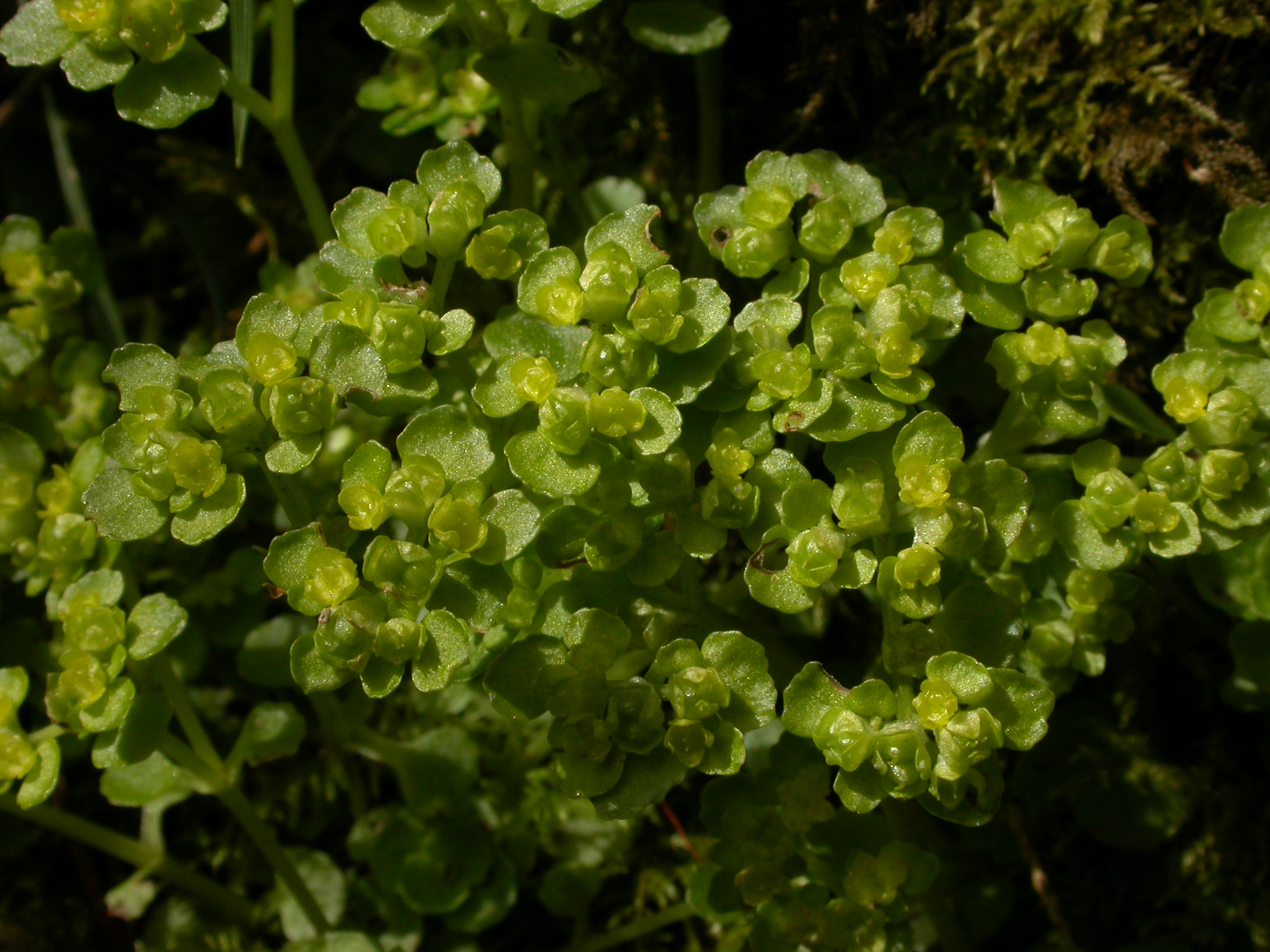 Opposite-leaved golden saxifrage © Philip Precey