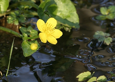 Marsh marigold © Darin Smith