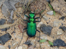 Tiger beetle © Michael Hodge