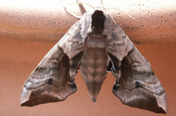 Eyed hawk moth © Tony Coultiss