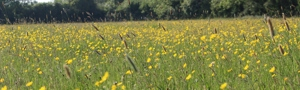 Field of buttercups at Lower Moors Clattinger Farm