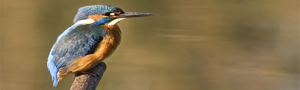 Kingfisher Darin Smith