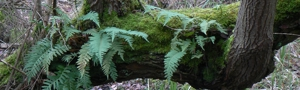 Joness Mill ferns © Paul Darby