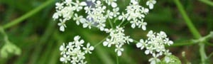 Cow Parsley Rob Large