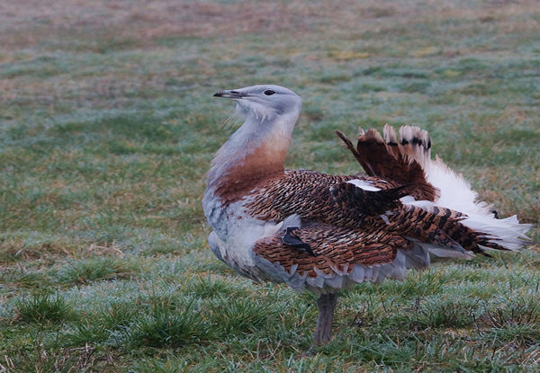 Great Bustard Gary Mantle
