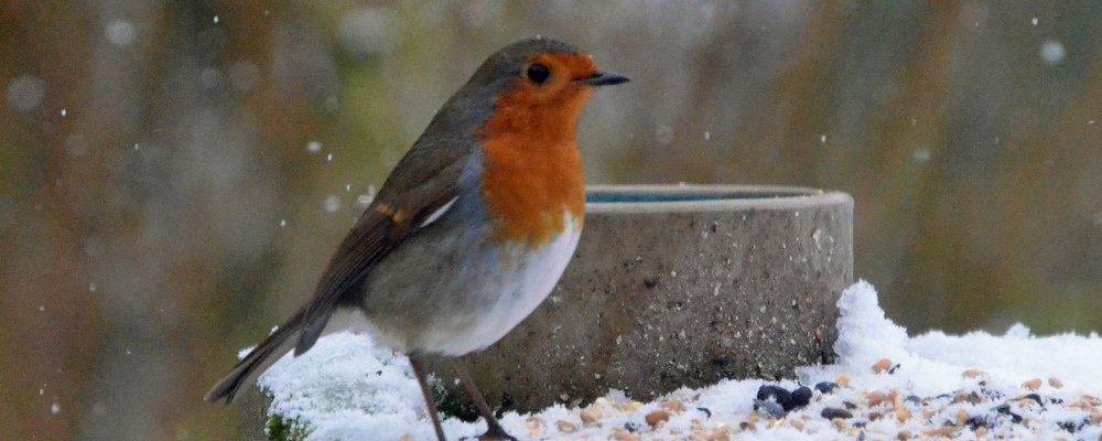 Robin in winter © Arkensial photographs