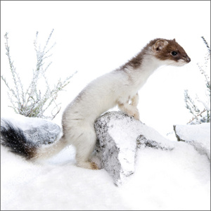 Stoat Christmas Cards