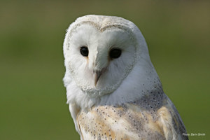Meet a Barn Owl