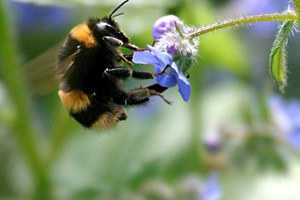 Bumblebee Survey